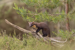 Pine Marten (cazalegg) Tags: pine marten mammal wildlife scotland nature forest trees nikon 300mm nikkor