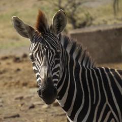 What did you say?  ( young Zebra)  /   ( jong Zebra) (Pixi2011) Tags: zebra southafrica africa wildlifeafrica wildanimals animals nature krugernationalpark