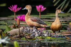 A Family of Ducks (BP Chua) Tags: singapore nature wild wildlife animal family duck avian bird waterbird canon 7d2 pond gardensbythebay