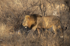The King (Ronnie798) Tags: lion king animal mammal grass tree wood morning sun nikon africa southafrica
