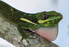 Puffing Up (ACEZandEIGHTZ) Tags: lizard throatpuffing anole green reptile nikond3200 knightanole anolisequestris branck macro closeup nature