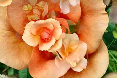 Peach colour Rose and double exposure effect (CCphotoworks) Tags: processing doubleexposure roses