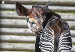 DSC_3458 raw to jpeg logo (Fiona Ruth) Tags: okapi okapiajohnstoni babyokapi grooming tongueout mammal artiodactyla forestgiraffe animal marwellwildlife africanmammal