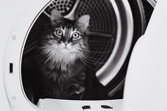 Le chat machine. (LACPIXEL) Tags: amy amyff chat cat gati pet animal mascota machine sèchelinge noiretblanc blancoynegro blackwhite sony flickr lacpixel