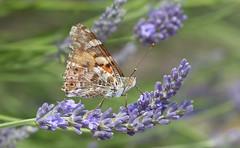 Painted lady / Distelvlinder (joeke pieters) Tags: 1480527 panasonicdmcfz150 distelvlinder vanessacardui paintedlady distelfalter vlinder butterfly schmetterling papillon insect
