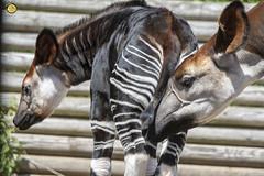 DSC_3453 raw to jpeg logo (Fiona Ruth) Tags: okapi okapiajohnstoni babyokapi animals mammal marwellwildlife africanmammal forestgiraffe artiodactyla bonding nurturing