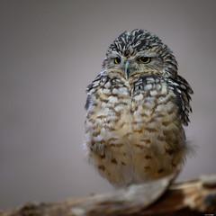 Annoyed (Rico the noob) Tags: dof 300mm z7 owl nature birds animal zurich published closeup schweiz bokeh 300mmf4pf indoor bird animals eye 2019 switzerland zoo