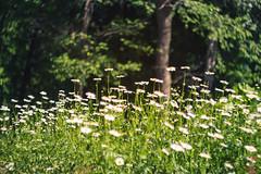 Field of chamomiles (AllaTabashnikova) Tags: helios442 summer nature blooming flower chamomile