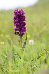 Early Marsh-orchid varieties (smir_001) Tags: dactylorhizaincarnata marshorchids dunesubspecies earlymarshorchid dactylorhizaincarnatasspcruenta red purple dactylorhiza incarnata cruenta dunes orchid orchids dactylorhizaincarnatassppulchella wildflowers plants flora macro closeup canoneos6dmarkii june summer british wales welsh kenfig bridgend nationalnaturereserve kenfigpoolnationalnaturereserve britishnnr kenfignnr orchidfamily orchidaceae europeanorchids britishorchids flowers unitedkingdom outdoor nature wildorchids