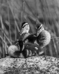 Stealing the Show (M Mttr) Tags: nature wildlife bird animal mallard duckling duck portrait blackandwhite monochrome