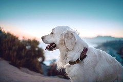 """My favorite quotation (inspired by @luckyavalanche):   """"There's nowhere you can be that isn't where you're meant to be."""" ~ Lennon   #goldenretrievers 💀 #althea (Alex Beattie) Tags: althea golden dog california westlake artisanbrandingcom"""