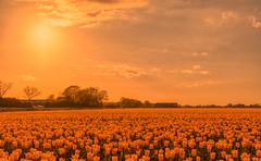 Blossoming Alien Spring. (Alex-de-Haas) Tags: 1635mm d500 dutch europa europe holland nederland nederlands netherlands nikkor nikkor1635mm nikon nikond500 noordholland agriculture akkerbouw beautiful beauty bloemen bloemenvelden boerenland bollenvelden bulbfields farmland farming flowerfields flowers landbouw landscape landscapephotography landschaft landschap landschapsfotografie lente lucht mooi polder pracht schoonheid skies sky spring sundown sunset tulip tulips tulp tulpen zonsondergang warmenhuizen northholland