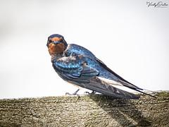 🇬🇧 Swallow.. Think it's seen me. (vickyouten) Tags: vickyouten swallow wildlife nature nikon nikond7200 nikonphotography sigma sigma150600mmc bemptoncliffs bridlington uk