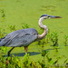 Heron at 40 Acre Lake