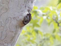 Curiosity (slsjourneys) Tags: owl mountainpygmyowl pygmyowl maderacanyonarizona owlintree glaucidiumgnoma