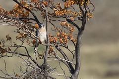 20190423_0807_Chili-TdP_Crecerelle d'Amerique (fstoger) Tags: patagonie patagonia nature wildlife viesauvage safari chili chile torresdelpaine crécerelledamérique americankestrel falcosparverius