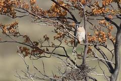 20190423_0810_Chili-TdP_Crecerelle d'Amerique (fstoger) Tags: patagonie patagonia nature wildlife viesauvage safari chili chile torresdelpaine crécerelledamérique americankestrel falcosparverius