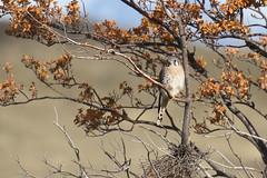 20190423_0813_Chili-TdP_Crecerelle d'Amerique (fstoger) Tags: patagonie patagonia nature wildlife viesauvage safari chili chile torresdelpaine crécerelledamérique americankestrel falcosparverius