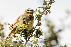 SteveEdwards_LabradorBay_CirlBunting (pootlepod) Tags: canon 7dmkii wildlife rspb rspbsouthwest birds labradorbay bay labrador cirlbunting bunting cirl raw nature natural reserve site rare male female song birdsong feather wing bill beak perching