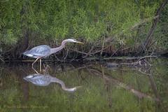 Great Blue Heron (Kevin James54) Tags: lakegalena peacevalleypark tamron150600mm animals ardeaherodias avian bird greatblueheron heron kevingianniniphotocom