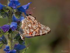 Distelfalter (wernerlohmanns) Tags: schmetterlinge butterfly insekten fliegendeinsekten distelfalter hochseeinsel helgoland schärfentiefe schleswigholstein sigma150600c nikond750 deutschland d750 wildlife outdoor natur nsg insekt