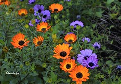 Un trocito de jardín (Anavicor) Tags: flower flor daisies margaritas garden jardín parque park parc color nature anavillar anavicor villarcorreroana nikkor50mm nikon d5300