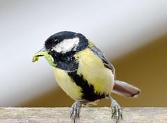 Great tit (Parus major) (Tom Kennedy1) Tags: greattit parusmajor paridae parus gardenbirds gardenwildlife irishwildlife