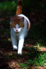 Walking cat by iezalel williams IMG_1652-001 - Canon EOS 700D (iezalel7williams) Tags: walkingcat outdoor nature photography cat pet domestic animal grass white orange green canoneos700d cute nice photo light love beautiful