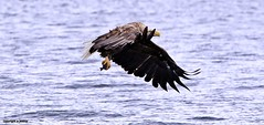 White Tailed Sea Eagle J78A0512 (M0JRA) Tags: seaeagle eagles scotland isles mull sea water waves boats reflections land birds holidays vacations sky clouds sunset sun deer fields roads
