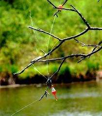 Entangled Fishing Line (Joseph Hollick) Tags: smileonsaturday entangled dundas fishing cootesparadise