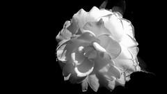 Super contraste (Parchen) Tags: camélia camelliajaponica flor branca contraste contrastante fundo preto negro escuro fundonegro fundopreto fundoescuro foto fotografia imagem registro parchen carlosparchen monocromática pretoebranca claroeescuro pretoebranco monocromático luz iluminação foco