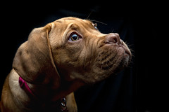 Low Key (Kev Gregory (General)) Tags: mabel dog dogue de bordeaux doguedebirdeaux bitch pet play run fawn colour isabella pup puppy baby turner hooch french mastiff hound goirl yoing mammal sweet cute home garden kev gregory canon 6d mark 2 ii wrinkles sun sunshine love low key studio strobe flash