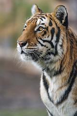 A nice semi-profile of Noah (Tambako the Jaguar) Tags: tiger big wild cat bengal male close portrait face profile looking attentive calm standing posing siky park zoo crémines switzerland nikon d5