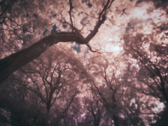 Canopy (graemes83) Tags: ir infrared 720nm trees tree leaves leaf trunk upwards sky towering pink colour wood forest pinhole