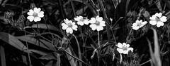 Illinois Wildflowers 183 of 365 (Year 6) (bleedenm) Tags: 2019 july outdoors park parkridge plants summer illinoistravel travelillinois