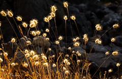 Işıklar (Lights) (SBastan) Tags: beauty colors color çiçek doğa environment flowers gorgeous harika hayat iloveturkey lights light nature photography perfect serhatbaştan sbastan splendid ışık türkiyeyiseviyorum türkiye turkey plants bitkiler