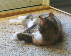 Gracie 6 May 2019 2906Ri (edgarandron - Busy!) Tags: cat cats kitty kitties tabby tabbies cute feline gracie patchedtabby