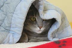 Millie 6 May 2019 2908Ri 4x6 (edgarandron - Busy!) Tags: cat cats kitty kitties tabby tabbies cute feline millie graytabby