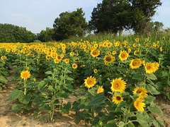 Tennessee Sunshine (jclegill) Tags: sunflowers tennessee flowers summer