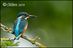 KF Male _F7O2143 (David E Cassells) Tags: king fisher kingfisher commonkingfisher alcedoatthis eurasiankingfisher fish bird eurasian nature photography canon1dx canonef300mmf28lisiiusm northern ireland alcedo atthis animal