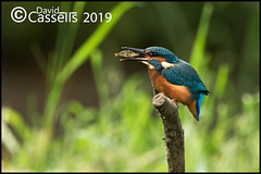 KF Female _F7O2031 (David E Cassells) Tags: king fisher kingfisher commonkingfisher alcedoatthis eurasiankingfisher fish bird eurasian nature photography canon1dx canonef300mmf28lisiiusm northern ireland alcedo atthis animal