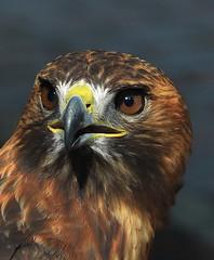 Predator Concentration (npbiffar) Tags: outdoor wild hawk redtailed portrait npbiffar 70300mm d7100 nikon telephoto ngc