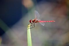 Holding the balance (Mado46) Tags: groseheidelibelle grosseheidelibelle commondarter libelle dragonfly dortmund phönixwest phoenixwest bxl06 mado46