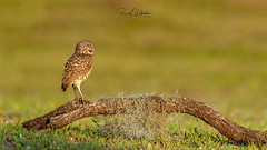Burrowing Owl - Athene cunicularia | 2019 - 18 (RGL_Photography) Tags: athenecunicularia birding birds birdsofprey birdwatching burrowingowl capecoral florida leecounty mothernature nature nikonafs600mmf4gedvr nikond810 ornithology owls raptor us unitedstates wildlife wildlifephotography ©2019rglphotography