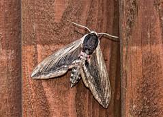 Privet Hawk Moth (ian._harris) Tags: nikon d750 sigma 105mm macro wilde nature wildlife animals naturephotography natur life flickr outside naturaleza bug insect flying