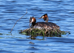 Great Crested Grebe's ANR 27th June 2019 (Nigel B2010) Tags: great crested grebe bird nature reserve wildlife countryside attenborough nottinghamshire june nest