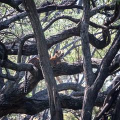 Leopard (Markus Hill) Tags: arusha tansania tanzania safari canon travel 2019 africa afrika ostafrika eastafrika leopard tree nature animal tier manyara