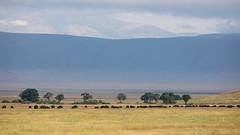Buffalos at Ngorongoro Crater (Markus Hill) Tags: arusha tansania tanzania safari canon travel 2019 africa afrika ostafrika eastafrika buffalo büffel tier animal nature ngorongoro crater