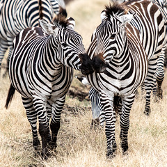 (Markus Hill) Tags: arusha tansania tanzania safari canon travel 2019 africa afrika ostafrika eastafrika zebra animal tier nature ngorongoro crater