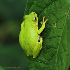 IMG_7758 Treefrog (Raiwen) Tags: amphibia anura hyperoliidae africa westafrica guinea moyenneguinée forest lowlandrainforest